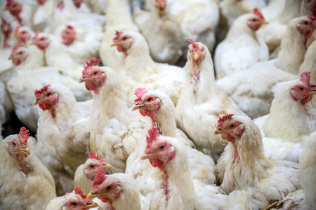 Sick chicken or Sad chicken in farm,Epidemic, bird flu, health problems.