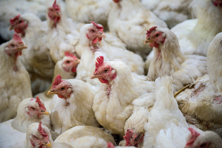 agonizing: Sick chicken or Sad chicken in farm,Epidemic, bird flu, health problems.