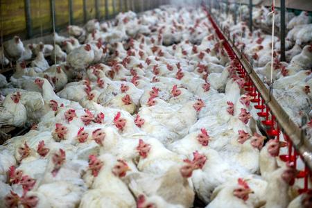病気の鶏や悲しいファーム、伝染病、鳥インフルエンザ、鶏の健康上の問題。 写真素材