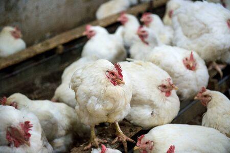 agonizing: Sick chicken or Sad chicken in farm,Epidemic, bird flu, health problems.