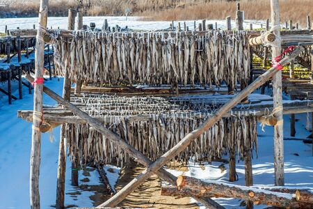 overfishing: Stockfish or fish drying in south korea.