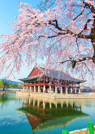 blossoms: Gyeongbokgung Palace with cherry blossom in spring,Korea.