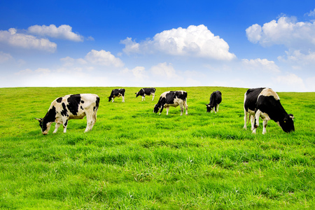 Cows on a green field.