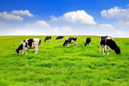 Las vacas en un campo verde. Foto de archivo