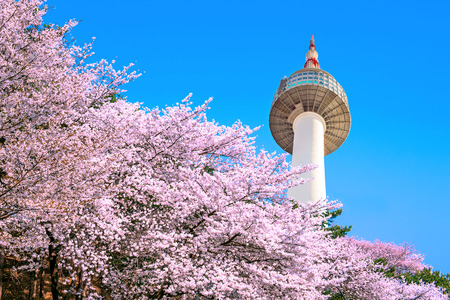 pink cherry: Seoul tower and pink cherry Blossom, Sakura season in spring,Seoul in South Korea. Stock Photo