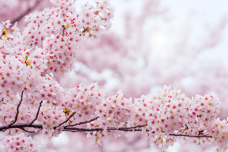 Cherry Blossom with Soft focus, Sakura season in korea,Background Stock Photo