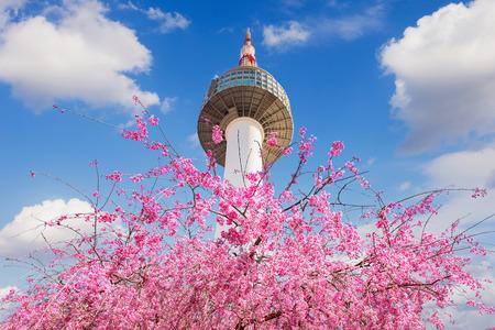 서울 타워와 핑크 체리 꽃, 봄 벚꽃 시즌, 한국 서울.