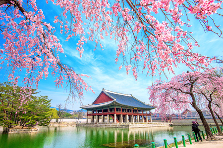 SEOUL, SOUTH KOREA - APRIL 6: Tourists taking photos of the beautiful scenery around Gyeongbokgung Palace with cherry blossom in spring on April 6, 2016 in Seoul, South Korea.