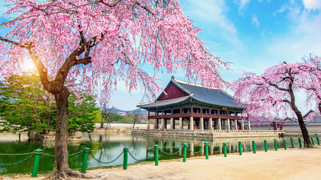 Gyeongbokgung Palace with cherry blossom in spring, Seoul in Korea. 에디토리얼