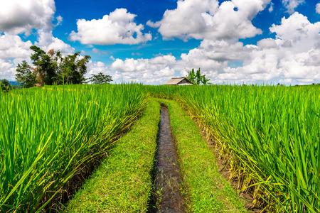 ubud: Rice fields in Bali island, Indonesia.