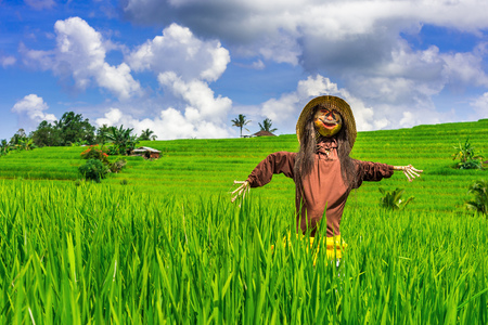 Scarecrow in rice fields.