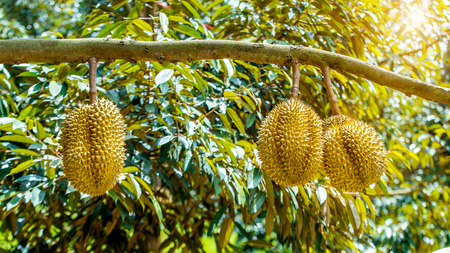 Durian on tree.