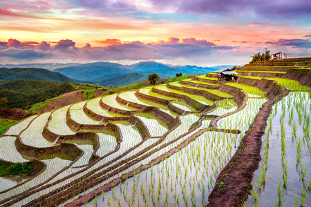 テラスはチェンマイ、タイで禁止 pa 鳳ピアンの田んぼ。