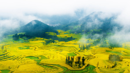 Canola field, rapeseed flower field with morning fog in Luoping, China.