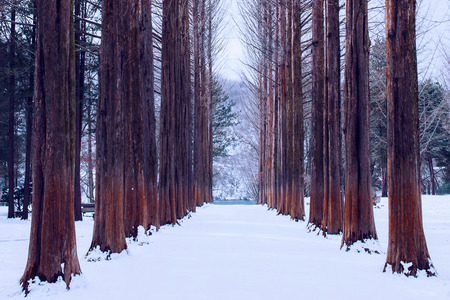 Nami island in Korea,Row of pine trees in winter. 版權商用圖片 - 85007370