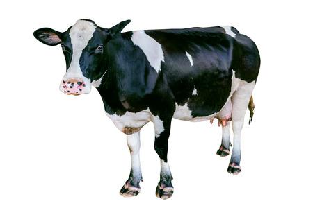 Koe op witte achtergrond wordt geïsoleerd die.