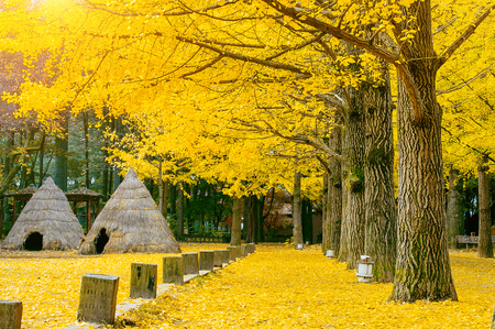 Autumn with ginkgo tree in Nami Island, Korea. 免版税图像