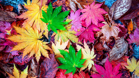 Colorful maple leaves in autumn. Stok Fotoğraf