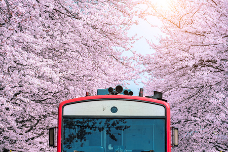 Cherry blossom or Sakura and trian in spring at Jinhae, South Korea. 版權商用圖片