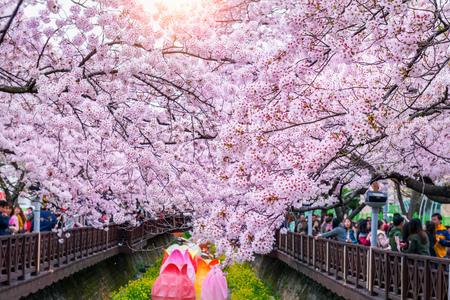 Fleur de cerisier au printemps. Le festival Jinhae Gunhangje est le plus grand festival de fleurs de cerisier en Corée du Sud.