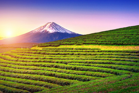Green tea fields and Fuji mountain in Japan.