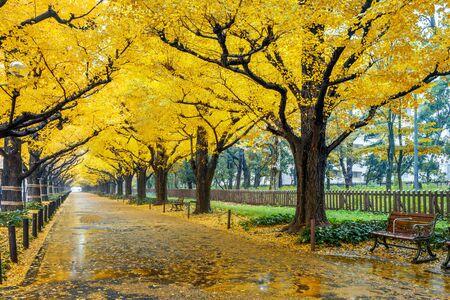 Row of yellow ginkgo tree in autumn. Autumn park in Tokyo, Japan. Stock Photo