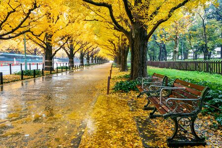 Row of yellow ginkgo tree in autumn. Autumn park in Tokyo, Japan.