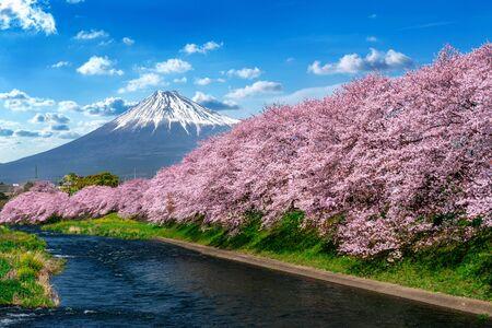 Fila de flores de cerezo y montaña en primavera, Shizuoka en Japón. Foto de archivo
