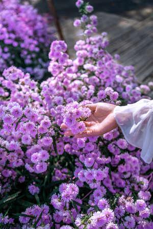Women's hands touch purple flowers in the fields. 版權商用圖片