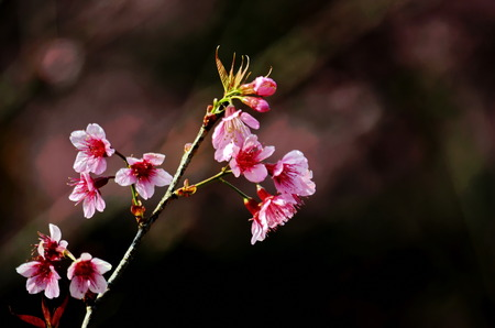 Stock Photo - Khun Chang Khian Highland Research Station Chiang Mai, Thailand photo of Sakura photo