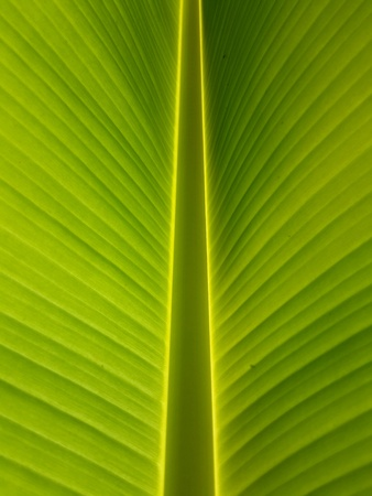 detail: Texture and detail of banana leaf Stock Photo