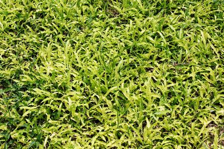 background  grass: Green grass background,grass texture