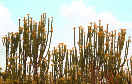 Beautiful cactus plants against a blue sky Stock Photo - 9912814