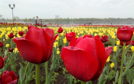 tulips on the quay after the rain
