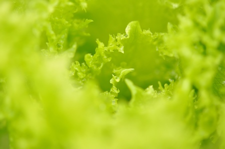 Fresh green lettuce salad Imagens