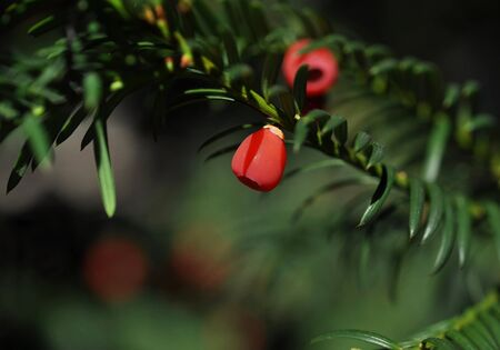Yew tree (Taxus baccata) with red fruits