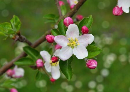 Close-up of apple tree (Malus domestica) blossom in the spring garden