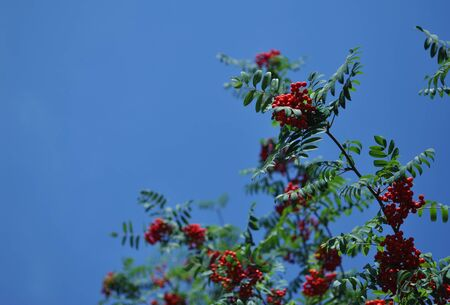 Branch of European Rowan (Sorbus aucuparia) with red fruits and blue sky