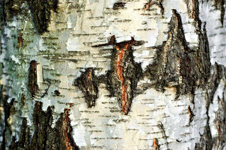 Cracked texture of birch bark (Betula), background