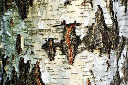 Cracked texture of birch bark (Betula), background Stock Photo - 12013132