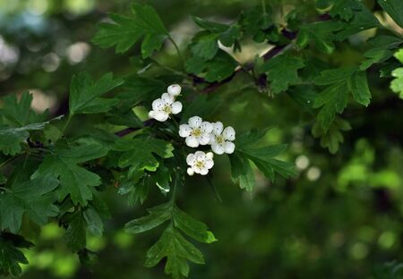 Hawthorn (Crataegus monogyna) blossom in spring Stock Photo - 12013130