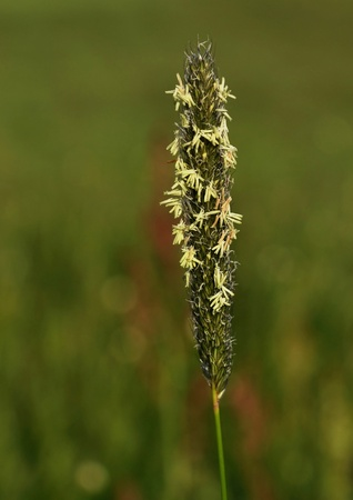 Timothy (Phleum) with anthers with allergenic pollen