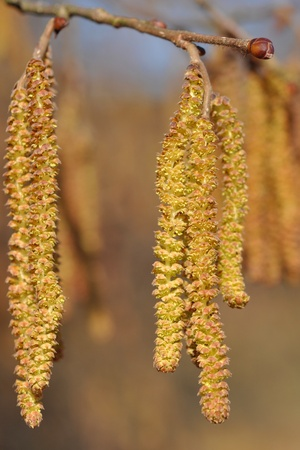 albero nocciola: Amenti di nocciolo (Corylus avellana) in primavera Archivio Fotografico