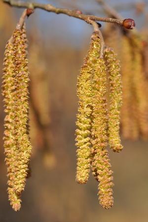 hazel tree: Catkins of hazel tree (Corylus avellana) in spring Stock Photo