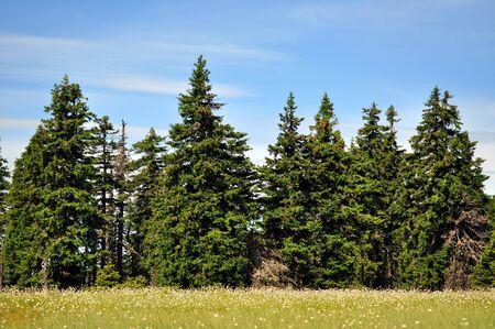 Turfeira nas montanhas com abetos e Cottongrass Imagens