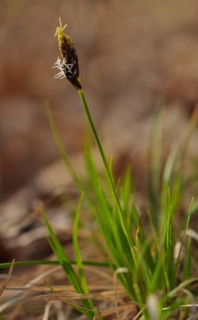 carex: Flowering sedge (Carex) in spring