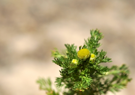 Flowers of wild chamomile Matricaria discoidea without petals, place for your text Stock Photo