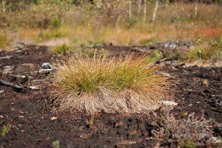 Tussock of cottongrass (Eriophorum vaginatum) in the wetland Stock Photo