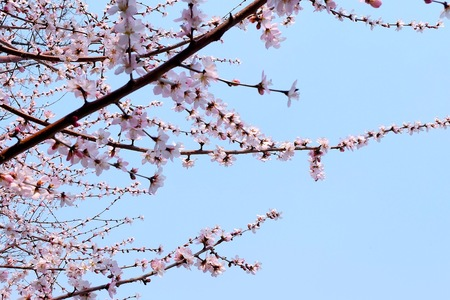 Sakura flower photo