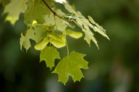 sicomoro: sic�moro hojas textura  Foto de archivo
